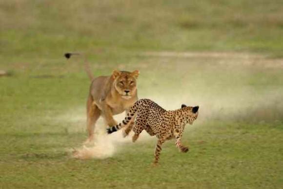 Big Cat Wars